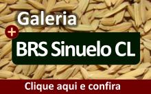 Galeria da variedade BRS Sinuelo CL